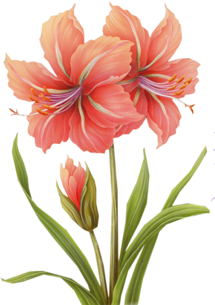 Fleurs amaryllis for Amaryllis en bouquet