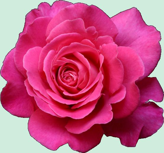 Fleurs Roses Fushia
