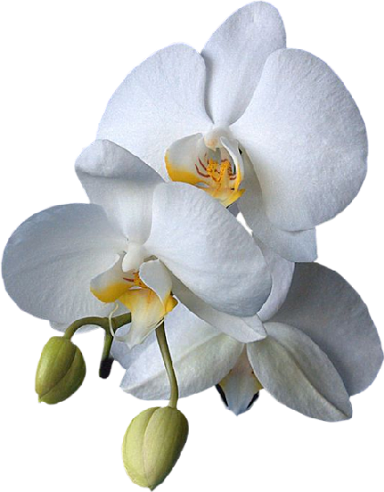 orchidee blanche photo