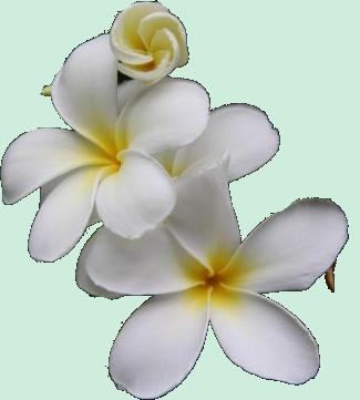 fleur tahitienne dessin