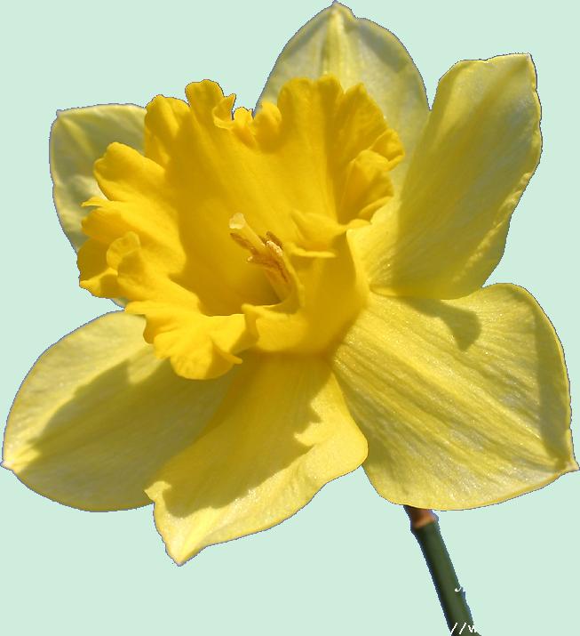 Fleurs jonquilles - Dessin jonquille fleur ...